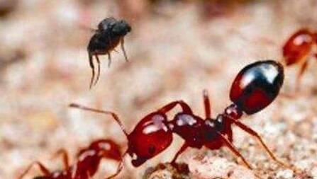 東京驚現劇毒紅火蟻