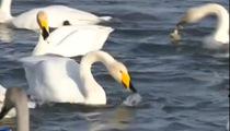 新疆:庫爾勒杜鵑河畔 野生天鵝來越冬