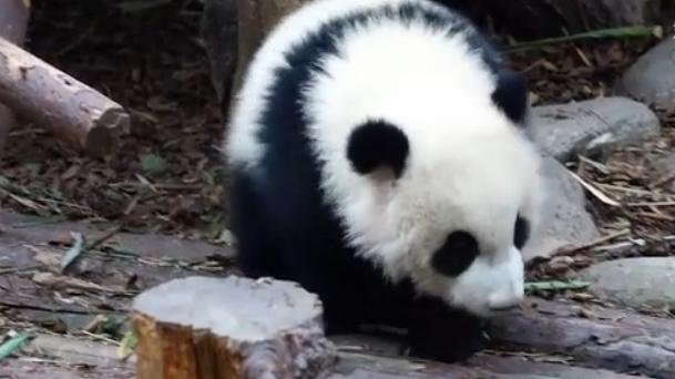 """熊貓寶寶的""""可愛彈"""""""