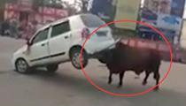 印公牛發狂險掀翻汽車 男子杯水將其制服