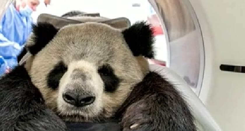 """德國:旅德大熊貓""""嬌慶""""接受CT檢查"""