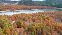 安徽寧國:冷空氣南下 紅杉林層林盡染