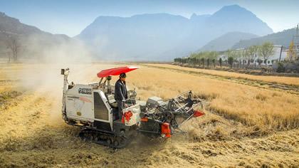 前峪村的水稻豐收了