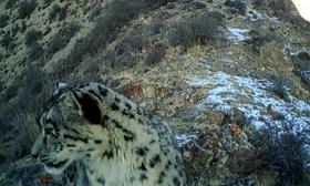 甘肅張掖:祁連山七一冰川區域拍攝到雪豹影像