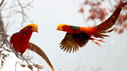 白雪片片舞 金雞翩翩飛
