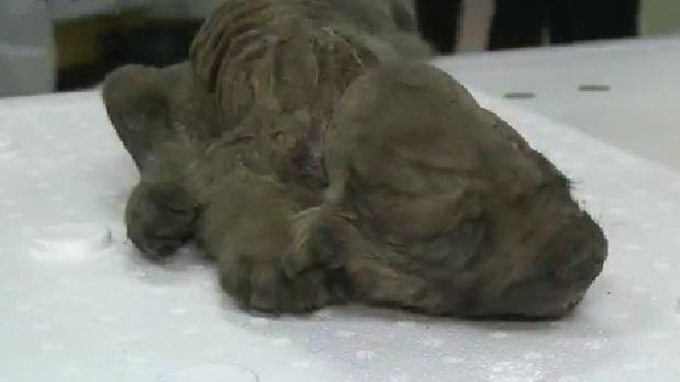 難題!狼還是狗?俄發現冰封18000年動物遺骸