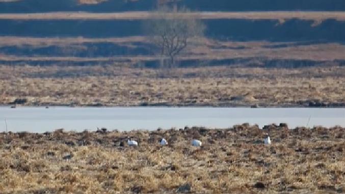 吉林琿春:攝影愛好者罕見拍攝到南遷丹頂鶴