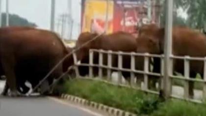 大象頂破圍欄橫穿馬路