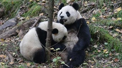 大熊貓首次在四川以外地區野化放歸