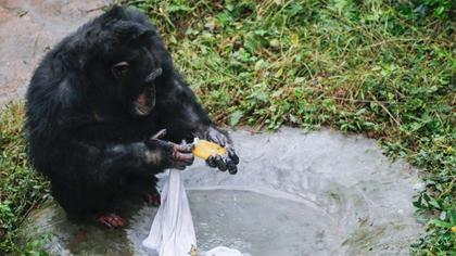 無師自通 愛洗衣服的黑猩猩走紅