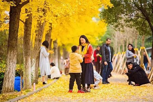 速來打卡!三峽大學成片銀杏葉黃剔透美如畫