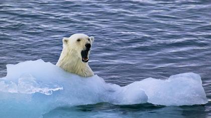 北極熊饑腸轆轆 俄村民嚴陣以待