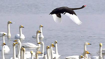三門峽:白天鵝湖邊翩翩舞