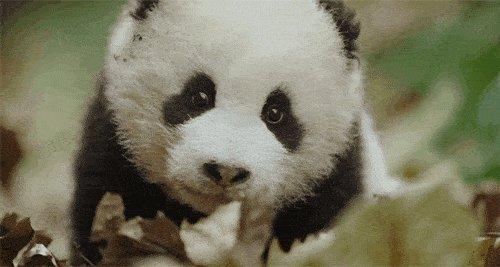 全球首例 野外産仔大熊貓成功回捕