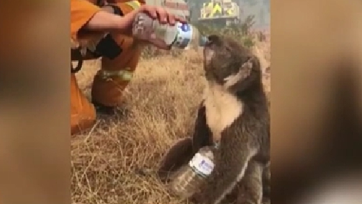 澳大利亞:口渴考拉討水 山火威脅考拉生存