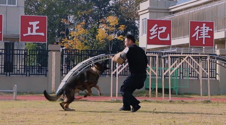 """實拍武漢警犬基地訓練畫面 關于警犬還有這些""""小秘密"""""""