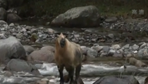 四川唐家河:首次拍攝到扭角羚一家6口列隊過河
