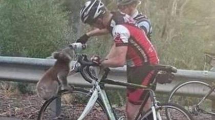 澳大利亞山火肆虐 考拉爬上自行車問路人討水喝