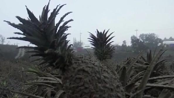天災! 植物成灰色 菲律賓火山灰影響嚴重