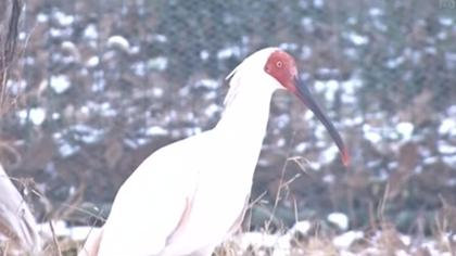 陜西銅川:朱鹮安然過冬 雪中自在覓食