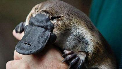 澳極端災害不斷 鴨嘴獸或陷滅絕?