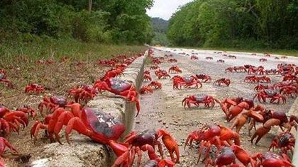 螃蟹遷徙 引人關注