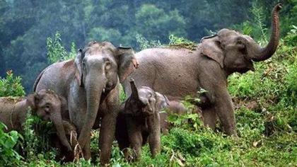 雲南西雙版納:62頭亞洲象齊聚野象谷
