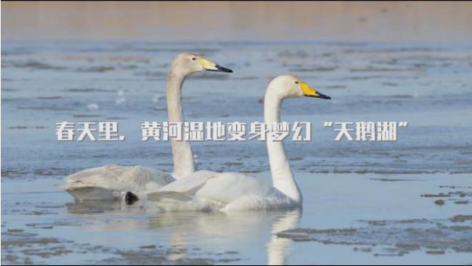 """春天裏,黃河濕地變身夢幻""""天鵝湖"""""""