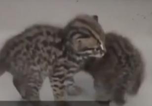 村民甘蔗地裏撿到3只野生豹貓幼崽