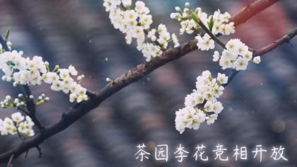 樂山市木城鎮:李花樹下採茶忙