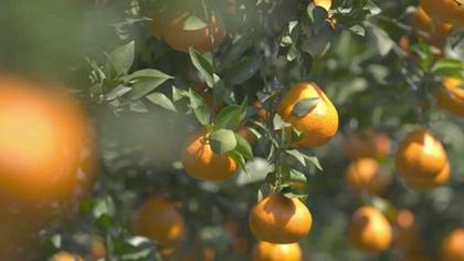 """""""桔橙之鄉""""的""""春見""""熟了"""