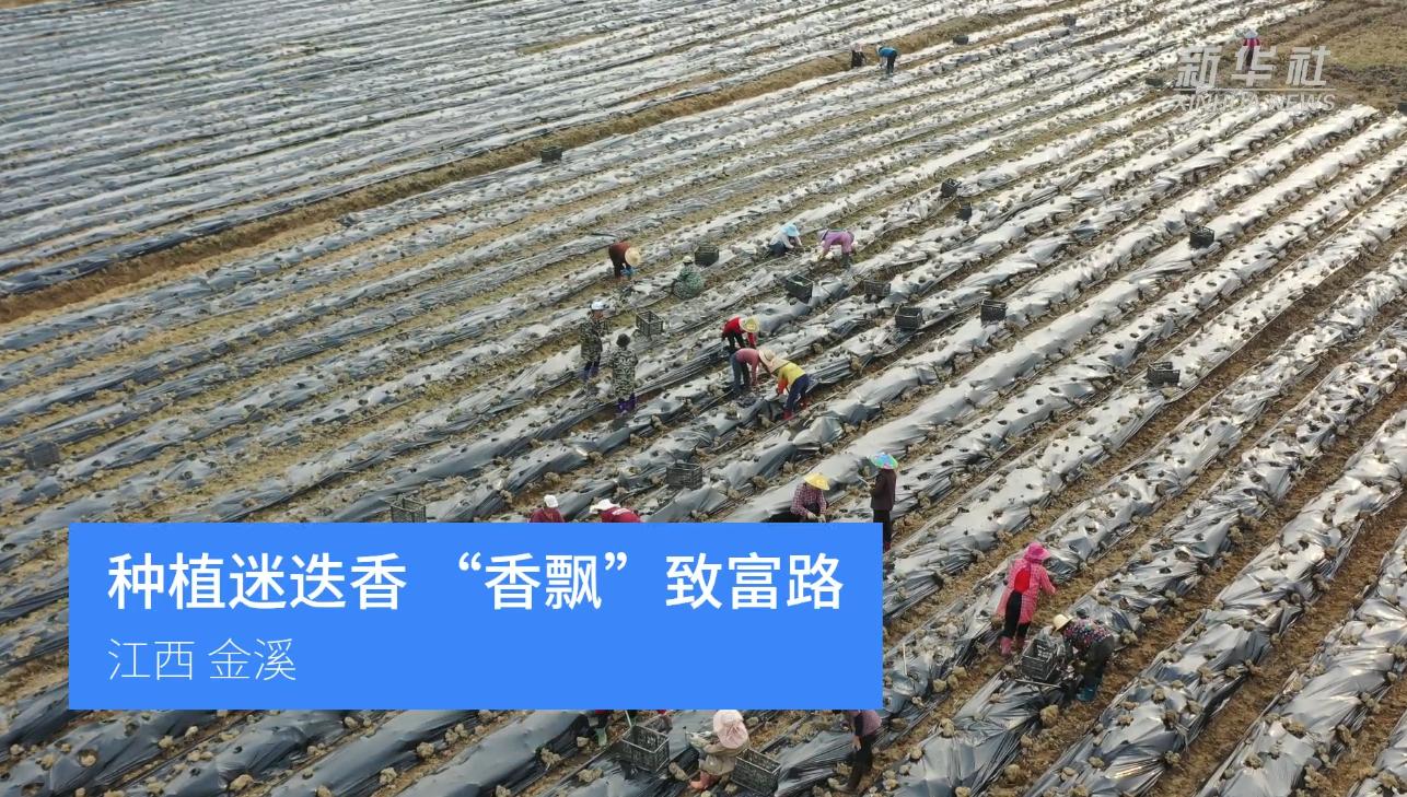 """江西金溪:種植迷迭香 """"香飄""""致富路"""
