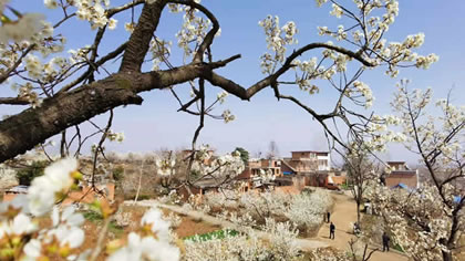 櫻桃花開 春山可望