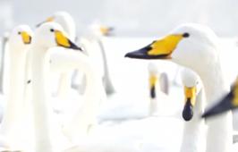 山東榮成:近萬只越冬大天鵝陸續開始回遷