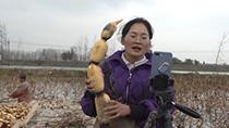微視頻:這很新鮮!藕田裏開起了直播