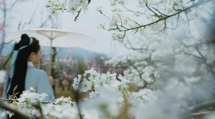 雲南呈貢:萬畝梨花開 滿園春意濃