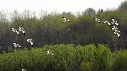 【微視頻】珍稀鳥兒成雙對
