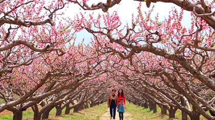 三門峽陜州:萬畝桃花開 遊客踏春來