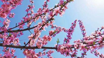 這片桃花林,驚艷了春天