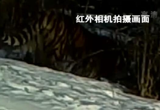 黑龍江鶴崗:太平溝國家級自然保護區發現野生東北虎