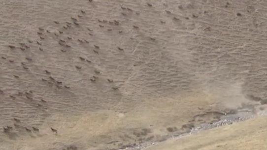 甘肅張掖:發現白唇鹿特大種群