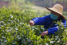 微視頻:茶香六百裏 助力奔小康