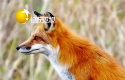 居民區驚現受傷狐狸