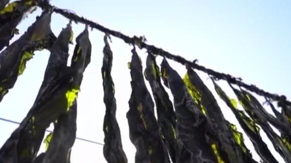 浙江寧波:海帶豐收 養殖戶搶晴晾曬