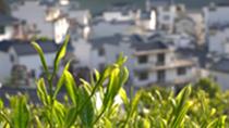 又到一年茶飄香 太平猴魁開園採摘