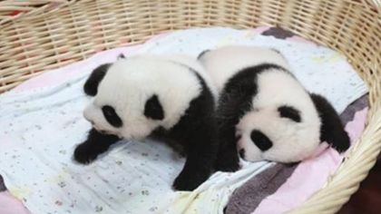 今年首對大熊貓雙胞胎滿月
