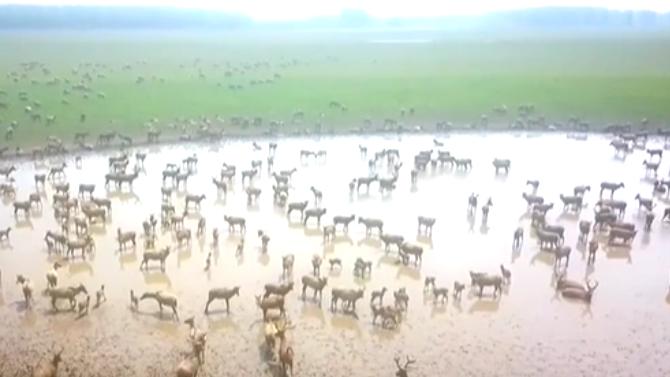 湖北:石首麋鹿保護區新生麋鹿超140頭