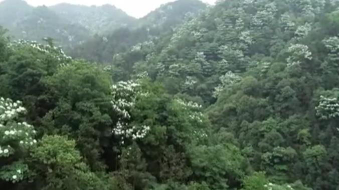 江西宜豐:官山國家級自然保護區山花陸續開放