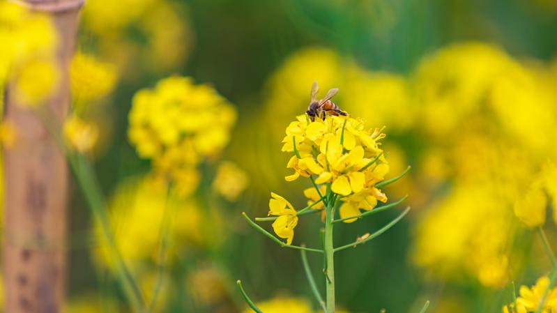 這一抹金黃,點亮雄安春天!