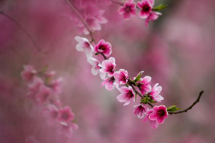 最美人間四月天 又是一年桃花紅